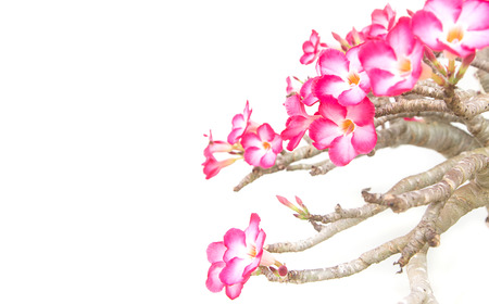 Impala lily - tropical flower isolated on white background photo
