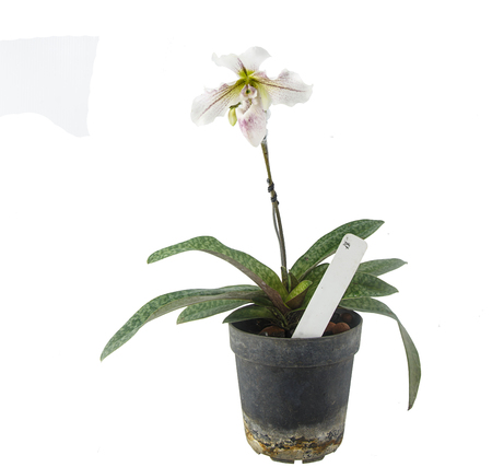 Paphiopedilum flower - tropical orchid in pot isolted on white