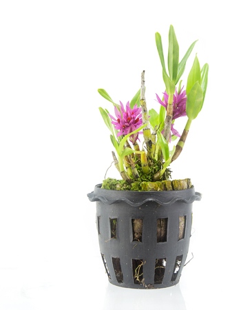 Orchid flower in pot isolated on white background Stock Photo