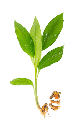 Turmeric plant - asian herb on white background