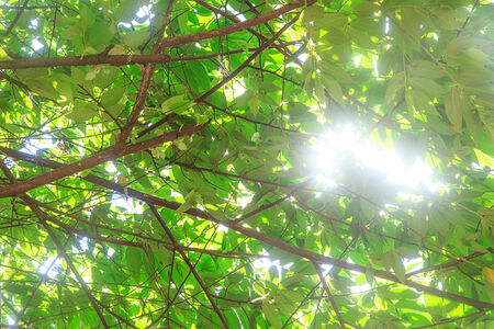 Sunlight through tree leaf in sunny day