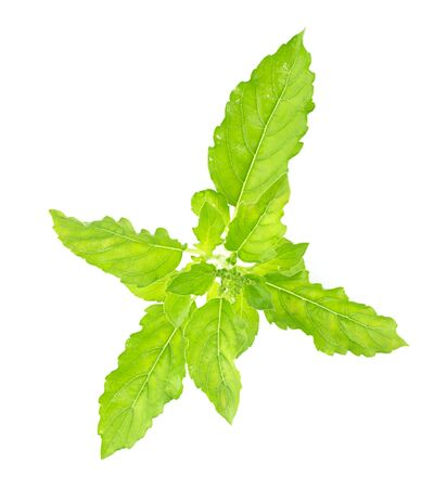 tulasi: Fresh holy basil leaves on white background