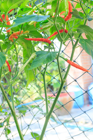Chilli peppers plant growing in vegetable garden photo