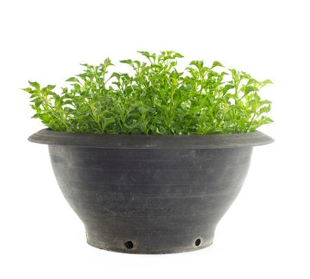 berros: Pot de berros - vegetal sano aislados sobre fondo blanco Foto de archivo
