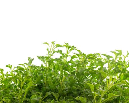 berros: Grupo de berros - vegetal sano aislados sobre fondo blanco