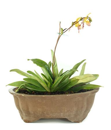 lady slipper: Pot of lady slipper orchids on white background Stock Photo