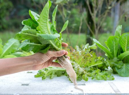 Hydroponics -vegetables - green cos lettuce with roots