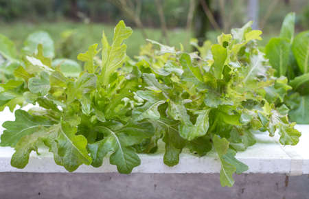 Fresh lettuce vegetables growing in hydroponics system