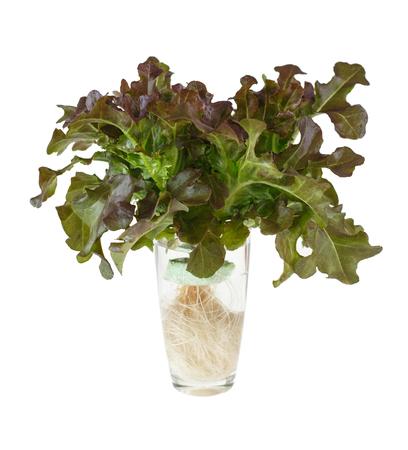 Close up fresh vegetable - red oak lettuce is glass on white