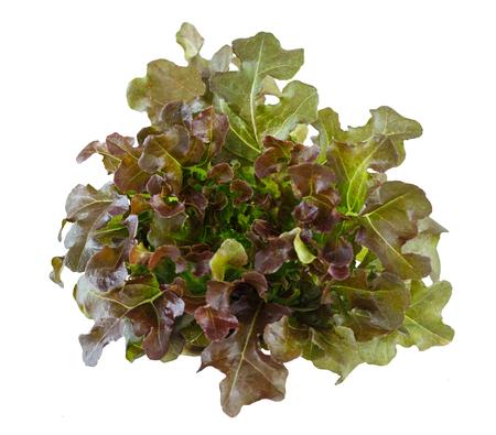 Close up fresh vegetable - red oak lettuce isolated on white