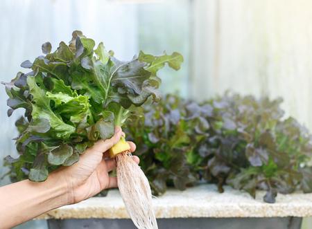 Close up of hands hold fresh lettuce vegetables Imagens