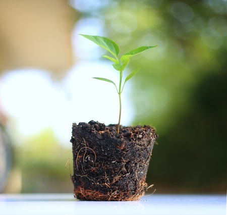 Pot of small plant show soil and root against nature background Stockfoto