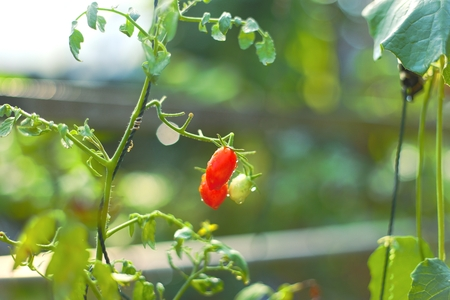 Tomato plant in garden and ripe tomato against nature background