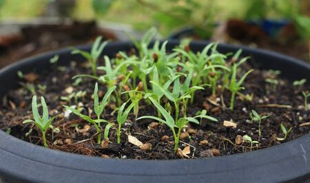 Growing plant - Pot of small water spinach growing with soil