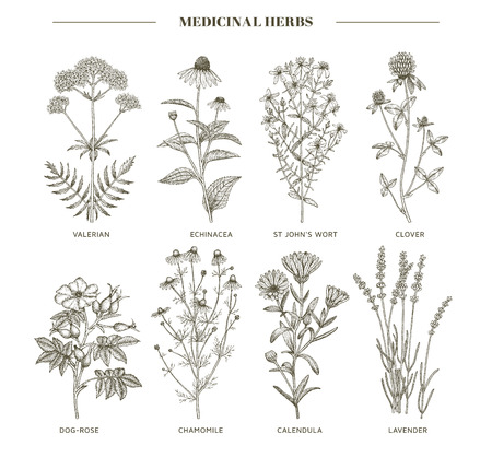 herbology: Vector hand drawn collection of medicinal, cosmetics herbs. St. Johns Wort, echinacea, lavender, valerian, chamomile, calendula, dog-rose, clover plants. Illustration