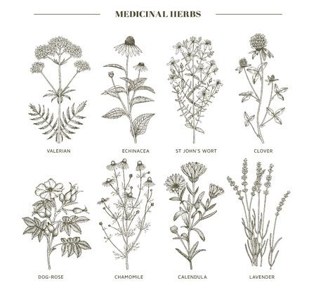 Vector Hand Sammlung von Heil, Kosmetik Kräuter gezogen. Johanniskraut, Echinacea, Lavendel, Baldrian, Kamille, Calendula, Hundsrose, Klee Pflanzen.