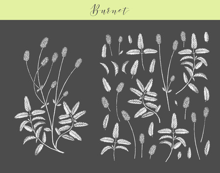 Vector hand drawn medicinal, cosmetics herb Sanguisorba minor. Burnet plant. Иллюстрация