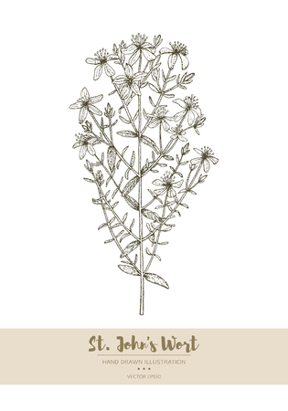 Vector hand drawn St. Johns Wort plant illustration. Illustration