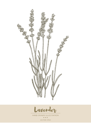 Vector hand drawn lavender plant illustration.