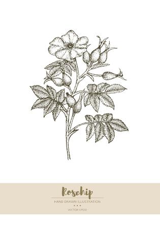 Vector dibujado a mano ilustración de planta de rosa mosqueta.