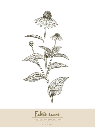 Vector hand drawn echinacea plant illustration. Illustration