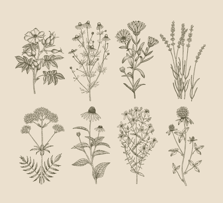 A Vector hand drawn collection of medicinal clover plants. Ilustração