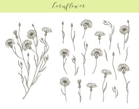 Vector hand drawn medicinal, cosmetics herb Centaurea cyanus. Cornflower plant. Vektorgrafik