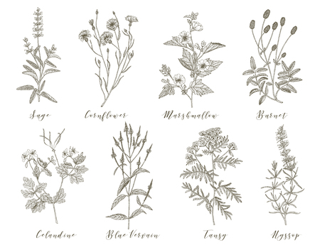 Vector hand drawn collection of medicinal, cosmetics herbs and plants. Sage Cornflower Marshmallow Burnet Celandine Blue Vervain Tansy and Hyssop.