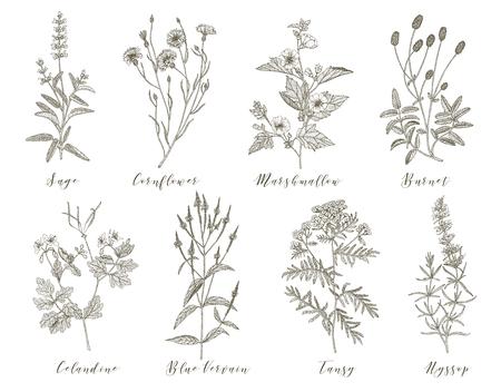 Vektor handgezeichnete Sammlung von Heilkräutern, Kosmetikkräutern und Pflanzen. Salbei Cornflower Marshmallow Burnet Celandine Blue Vervain Rainfarn und Ysop.