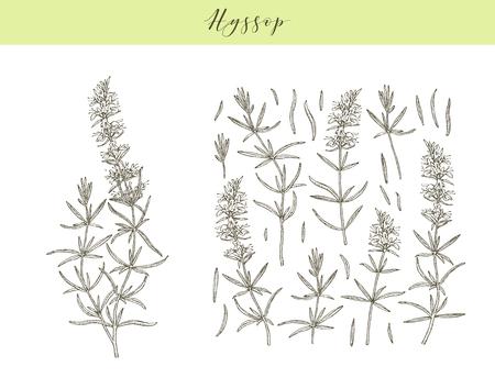 Vector hand drawn medicinal, cosmetics herb Hyssopus officinalis. Hyssop plant.