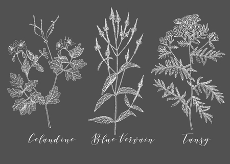 Vector hand drawn collection of medicinal, cosmetics herbs and plants. Celandine Blue Vervain and Tansy.