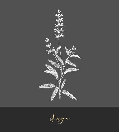 Vettore disegnato a mano medicinale, erba culinaria Salvia officinalis. Salvia pianta culinaria.