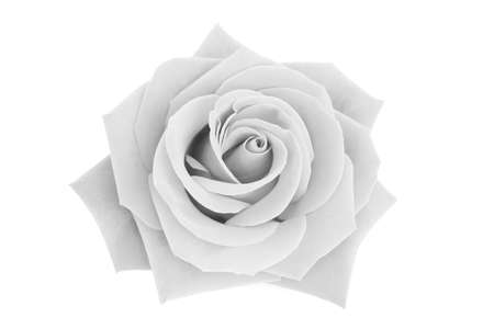 gray: gray rose isolated on white background, soft focus.