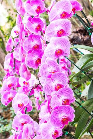 orchids in Royal Park Rajaprueka, Chiang Mai,Thailand.