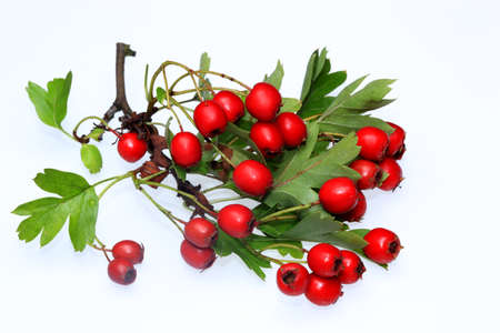 homoeopathic: Reife Weissdornbeeren Stock Photo