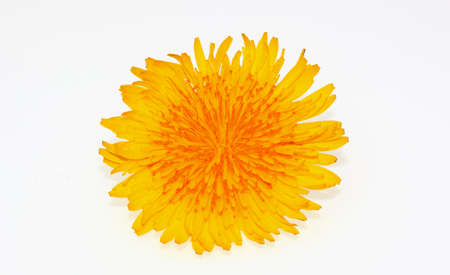 pseudoscience: blossom of dandelion Stock Photo