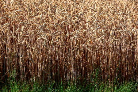 economic issues: wheatfield in the summer Stock Photo