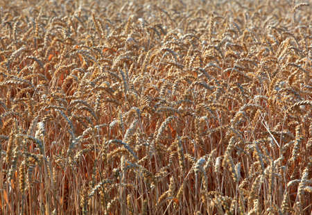 economic issues: ripe wheat field in summer