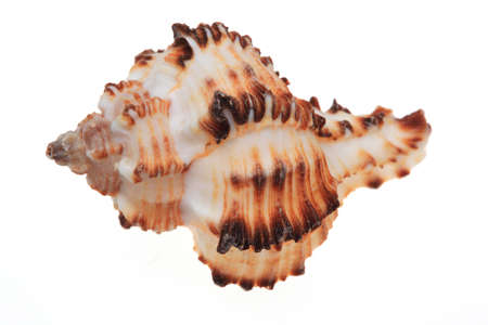 molluscs: shell for decoration over white ground