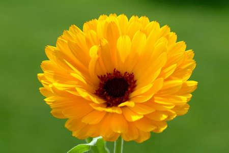 medicinal plant: Medicinal plant Calendula officinalis, blossom