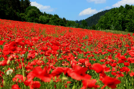 economic issues: blooming poppyfield in the summer