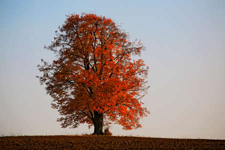 tilia: lonely lime tree, Tilia, in autumn colors