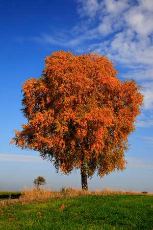 betula: lonely birch tree, Betula,  in autumn colors