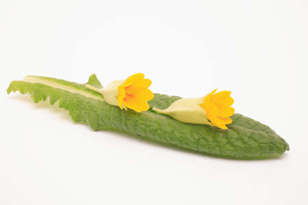 primula veris: Flowers of cowslip, Primula Veris, medicinal plant and natural remedies Stock Photo