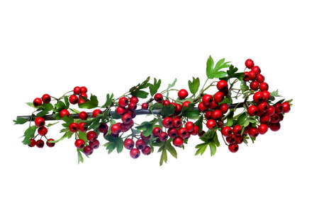 red ripe Hawthorn berries Stock Photo