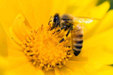 Bee on a yellow flower photo