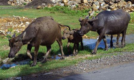 water buffalo:  water Buffalo