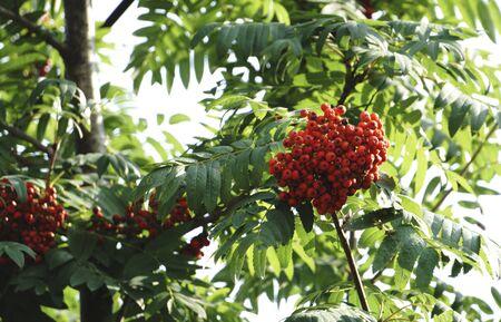 rowanberry: Rowan tree, close-up of bright rowan berries on a tree