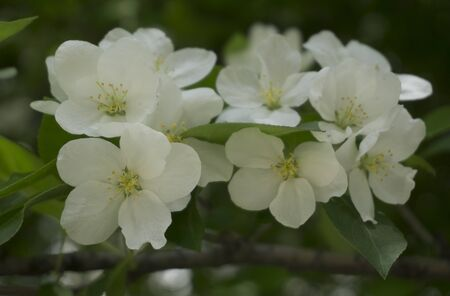 crab apple tree: the Apple tree blooms white buds