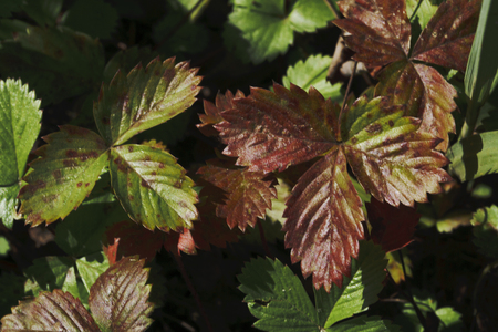 Wild strawberry plant with green leafs.